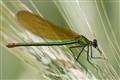 Calopteryx splendens (female)