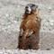 groundhog standing