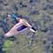 IMG_8841_mallard-fly-2