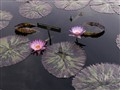lotuses and lillies
