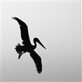 Pelican sillouette