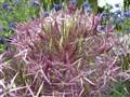 Dewy Allium