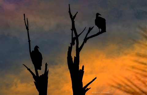 Vultures in a multicolored sunset