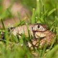 Western Brown Snake