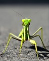 what you watch? Praying Mantis have not seen?