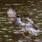 Eastern Osprey 04