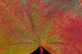 Fall Sugar Maple Macro
