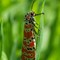 orange_moth
