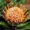 Maui Protea