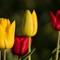 Tulip-7569