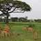 Impalas and Bat-eared Foxes - Serengeti NP