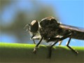 Whiskery Robberfly