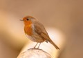 Captured this Robin at Sandwell Park, West Bromwich.