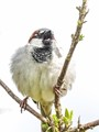 Sparrow on blank canvas