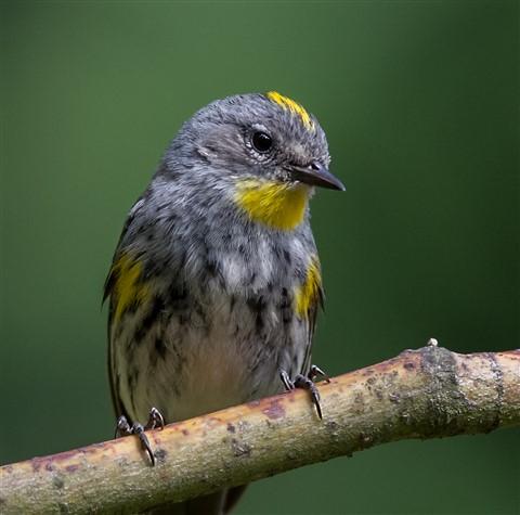 Yellow-rumped Warbler_9901-2