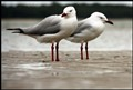 Hervey-Bay-Gulls