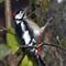 detel aka. woodpecker