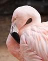 Flamingo at Zoo