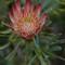 Kirstenbosch7