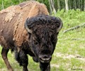 The Bison Whisperer