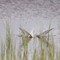 Silvertärna - Arctic tern (Sterna paradisaea)-4