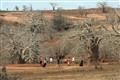 Imbondeiro Trees