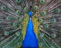show of most beatiful feathers