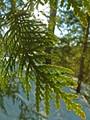 Spring Green Cedar