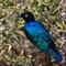 Blue-Starling
