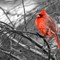 RED - Northern Cardinal in Winter