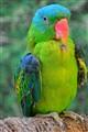 Blue-Naped Parrot.