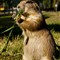 Dramatic look prairie dog