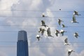 Wild Egrets Polluted By Power Grid and High Rise Building