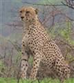 Cheetah@imfolozi_1