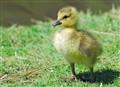 Canada goose gosling.