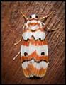 An Arctiid Moth