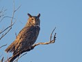 great horned1 dp