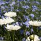 blue flax and daisies