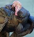 Wild Turkey female preening