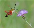 HUMMINGBIRD MOTH ON SPOTTED KNAPWEED
