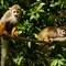 Squirrel Monkeys DPR