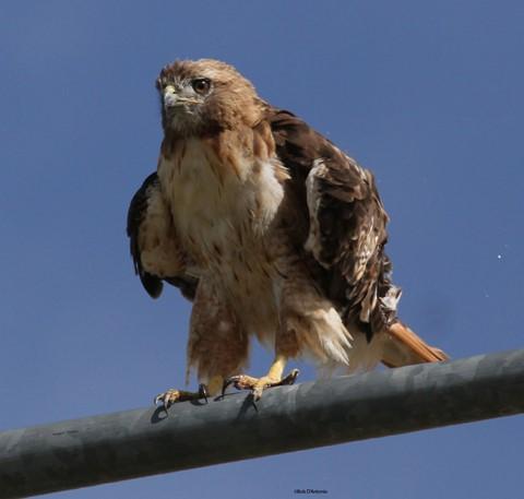 Redtail Hawk-825-13