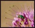 Green sweat bee. Colorado eastern plains.