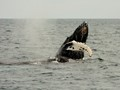 Humpback whales, Kenai Fjords NP, Alaska---Playful junior breaching with Mama spouting alongside.   I've had the good fortune to see up close--grizzly bear, polar bear, lions, tigers, rhinos, and elephants the wild.  But, none is as awesome as a whale.