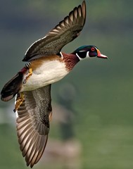 Wood Duck; Shot with Nikon AF-S NIKKOR 500mm f/5.6E PF ED VR