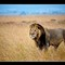 Mara-Male-lion-1 blk bdr