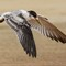 Crested Tern 09