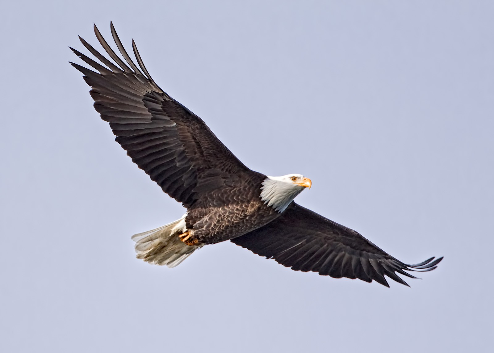 Soaring Eagle Ben Egbert Galleries Digital Photography