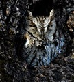 Screech Owl half asleep