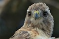 Red-Tailed Hawk Eyes